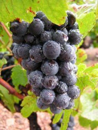 colorado wine grapes